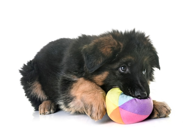 Puppy german shepherd Premium Photo