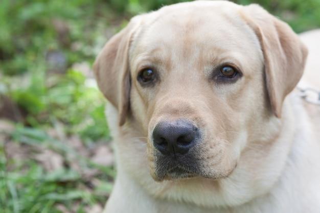 Puppy labrador resting in the woods Premium Photo