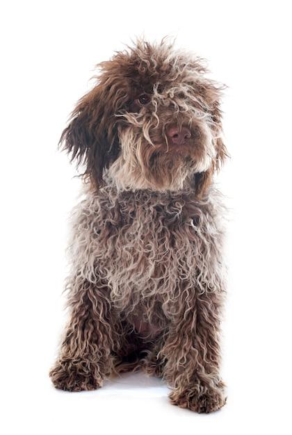 Puppy lagotto romagnolo Premium Photo