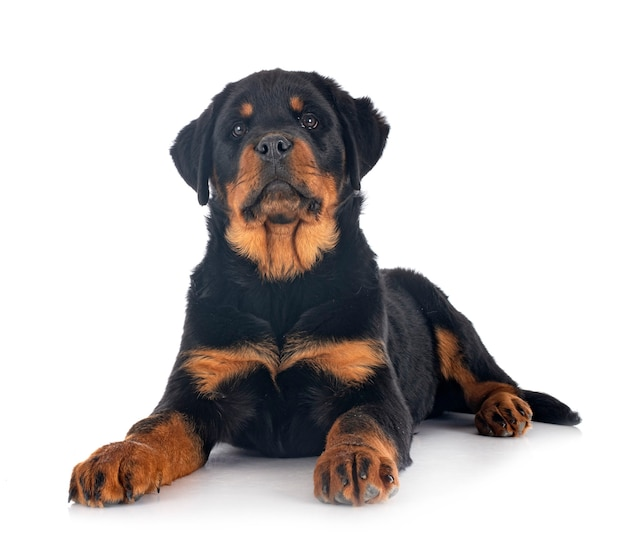 Inteligência e obediência do Rottweiler