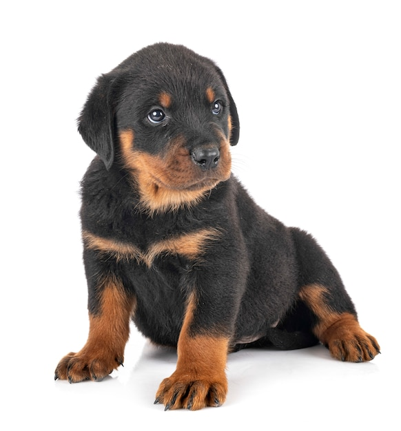 Ротвейлер щенка на белом фоне Premium Фотографии