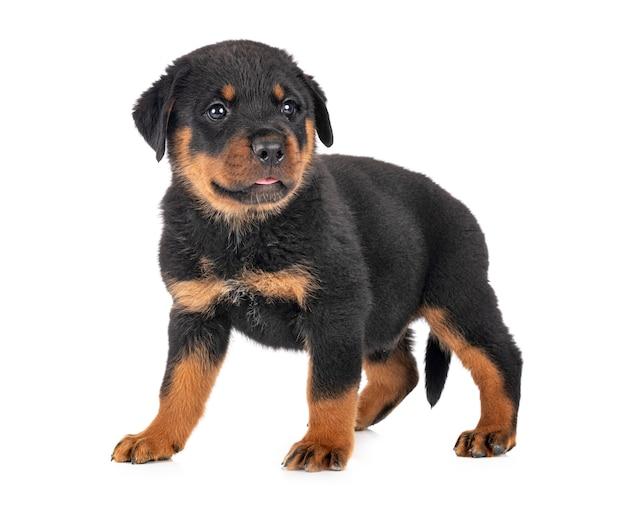 Puppy rottweiler Premium Photo