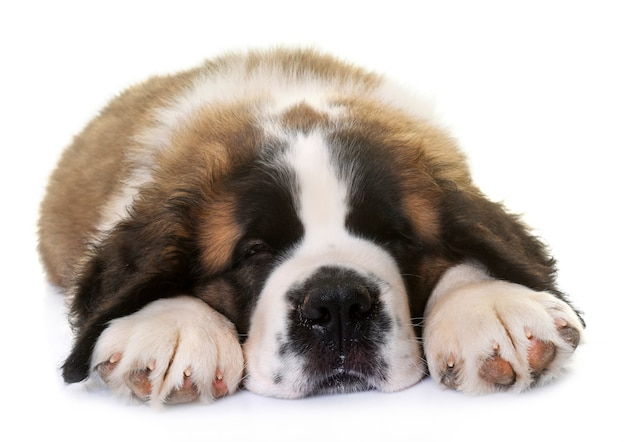 Puppy saint bernard Premium Photo