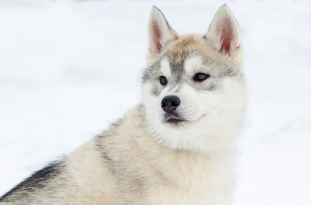 Puppy of siberian husky breed. husky dog has beige and black coat color Premium Photo