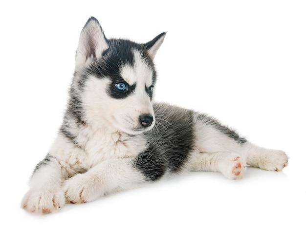 Puppy siberian husky Premium Photo
