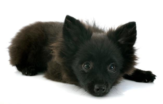 Puppy spitz Premium Photo