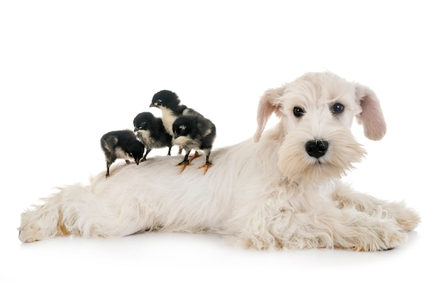 Puppy white miniature schnauzer Premium Photo