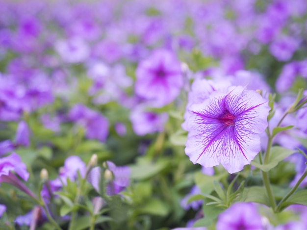 Purple And White Petunia Flowers With Blurred Background Photo