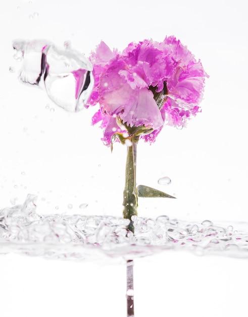 Purple carnation falling into water Free Photo