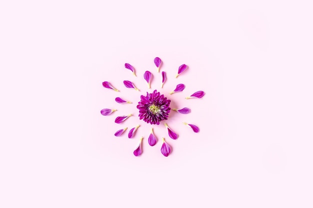 Purple chrysanthemum lies in the center on a pastel pink background with pink petals lying around the chrysanthemum Premium Photo