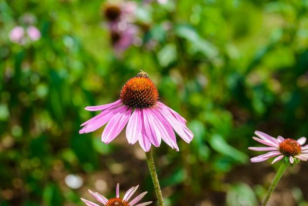 Фиолетовый эхинацея (echinacea purpurea) популярное растение для привлечения медоносной пчелы Premium Фотографии