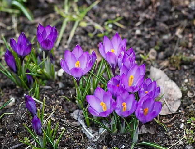 Purple crocuses germinate in the spring in the garden Premium Photo