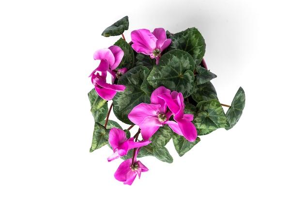 白い背景で隔離の紫色のシクラメンの花。 Premium写真