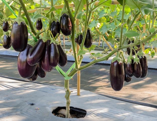 Purple eggplant on its tree in greenhouse Premium Photo