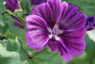 紫の花、脆弱性 無料写真