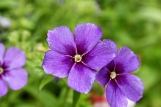 Purple Flowers Bloom Garden Photo Free Download