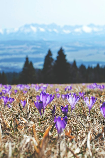 Purple flowers in a field on montains Free Photo
