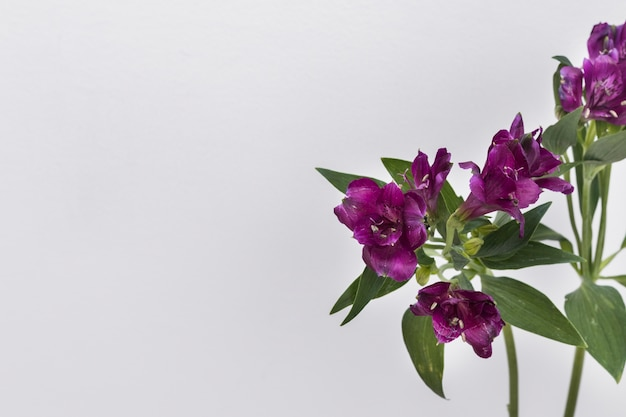Purple flowers on white background photo free download purple flowers on white background free photo mightylinksfo