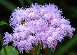 Purple fuzzy flowers photo free download purple fuzzy flowers free photo mightylinksfo