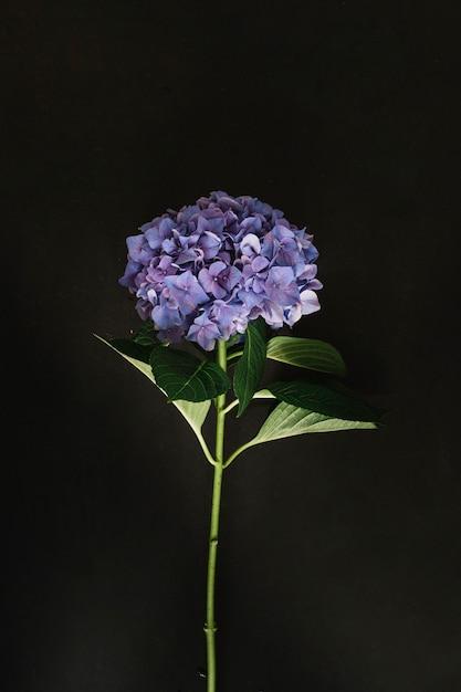 Purple hydrangea flower on black background Free Photo