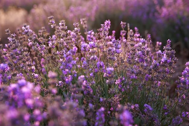 Фиолетовые цветы лаванды в поле Premium Фотографии