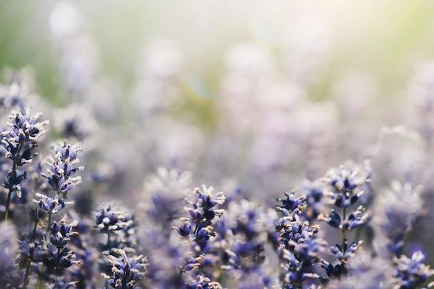 フィールドマクロ撮影で紫のラベンダー 無料写真