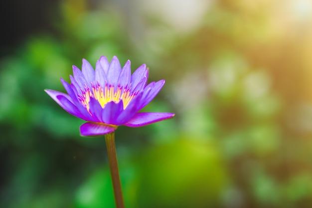 Purple lotus in a pot Premium Photo