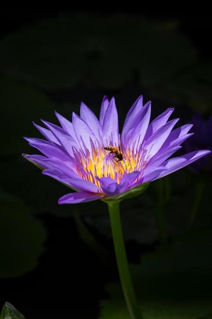 Purple lotus or purple water lily in pond Premium Photo