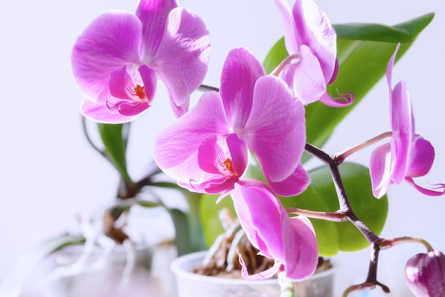 Purple orchid bloom flower.exotic houseplant blossom. Premium Photo
