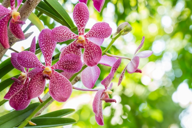 Purple orchid, mokara. Premium Photo