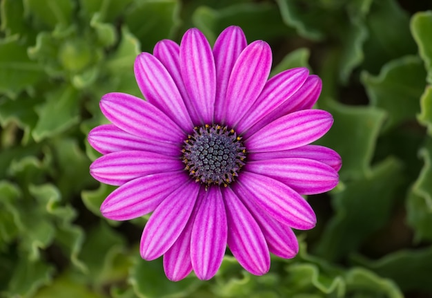 Purple osteospermum daisy flower Free Photo