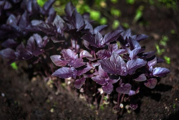 有機性庭で育つ紫色の植物 Premium写真