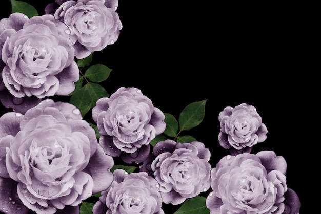 Purple rose on a black background Premium Photo