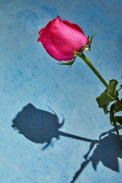 파란색 배경에 하드 그림자와 함께 퍼플 로즈. 프리미엄 사진