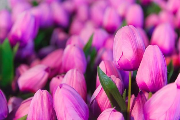 Purple tulip flowers background for wedding, love, valentine, bouquet, backdrop Premium Photo