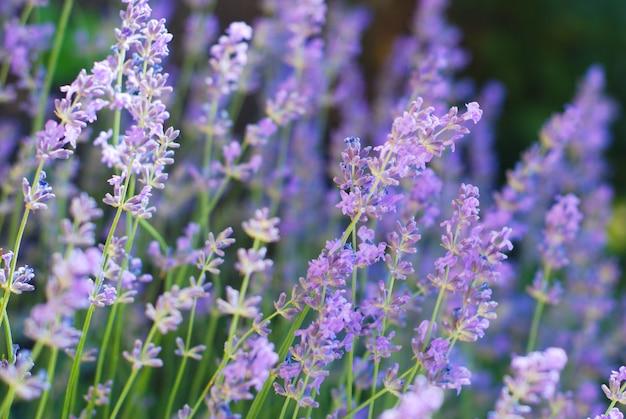 Purple violet lavender flowers in bloom field. Premium Photo