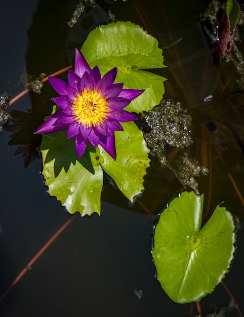 紫の睡蓮のトップビュー 無料写真