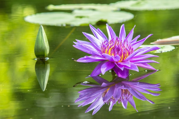 Purple waterlily in pond Premium Photo