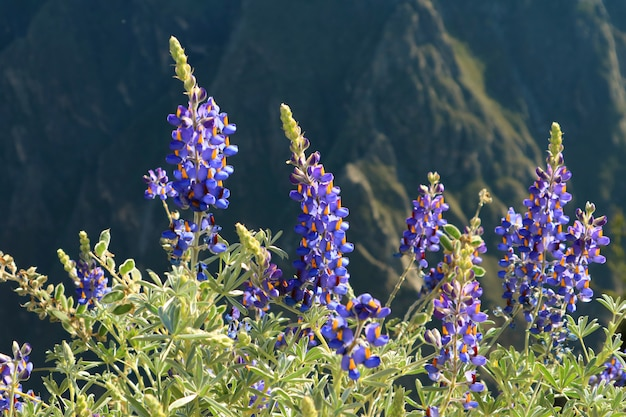 Purple with yellow accent wild flowers, with blurred colca canyon in background, arequipa region of peru Premium Photo