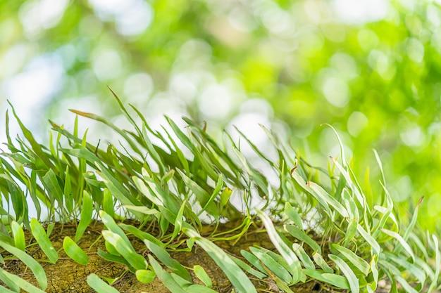 Пиррозия папоротника на дереве в тропических лесах Premium Фотографии
