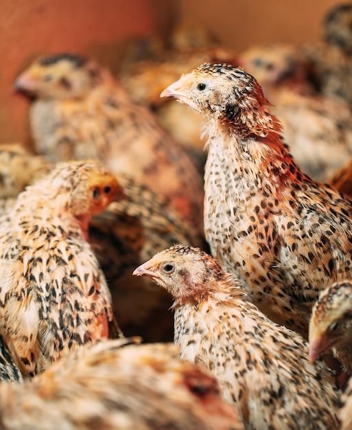 Quail chicks in a cage on the farm. Premium Photo