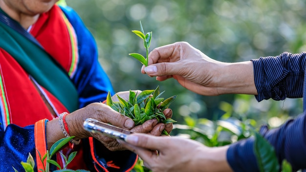 Quality check tea leaves in hand by smartphone Premium Photo