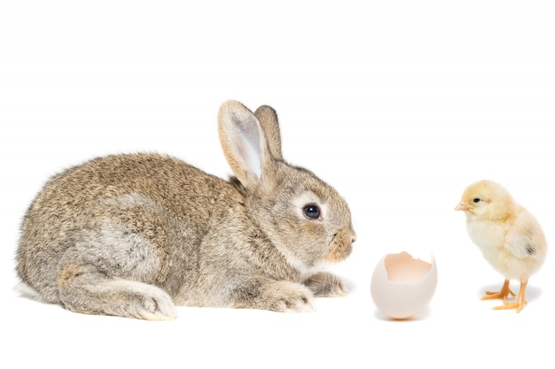 Rabbit chicken egg white background Premium Photo