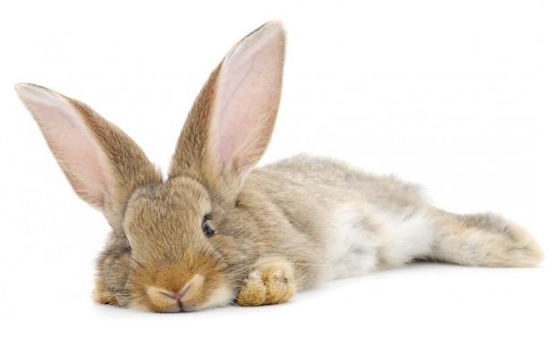 Rabbit Premium Photo