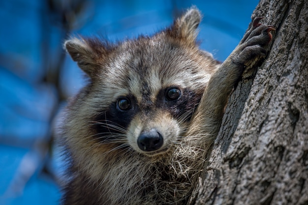 Raccoon by a trunk Free Photo