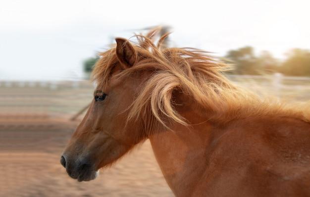 Racing brown horse running on farm in morning Premium Photo