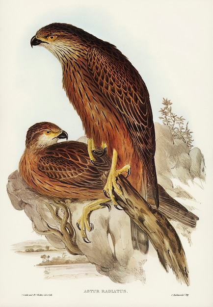 Radiated Goshawk (Astur radintus) illustrated by Elizabeth Gould Free Photo