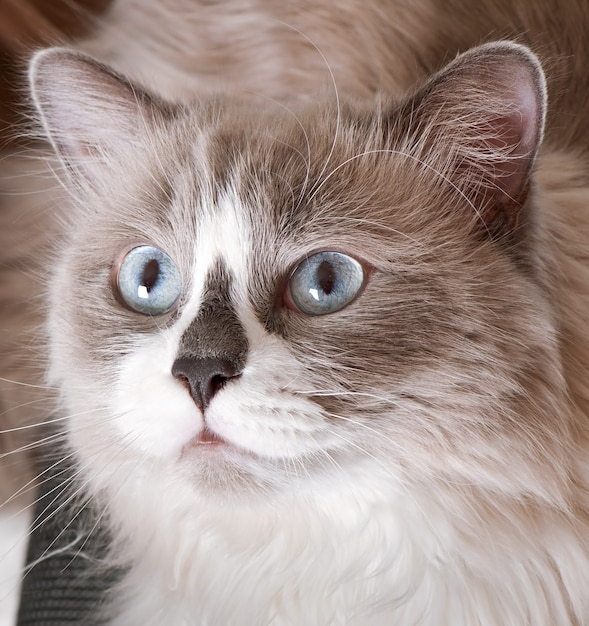 Ragdoll breed of cat face close-up Free Photo