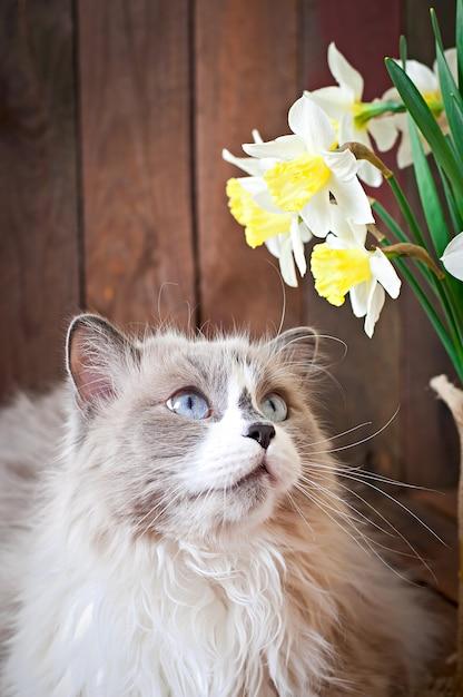 Рагдолл порода кошек и ваза с нарциссами Бесплатные Фотографии