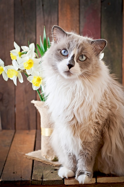 Ragdoll cat breed and a vase of narcissus Free Photo